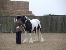 Traditional Show Cob for sale