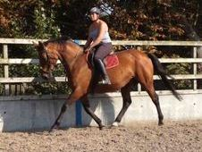 Hunt Mare/showjumper/all Rounder