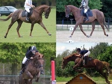 All Rounder horse - 12 yrs 16.3 hh Chestnut - Leicestershire
