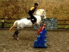 Working Hunter/ WHP horse - 8 yrs 7 mths 13.1 hh Dapple Grey - Ha...