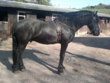 Extremely Loving And Kind Natured Friesian Horse Available.
