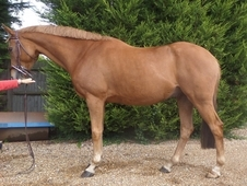 Perfect Gentleman 15. 3hh In Kent