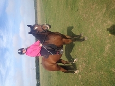 Project New Forest Bay Gelding 5yr