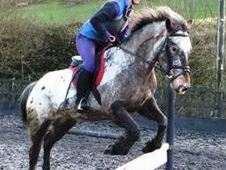 All Rounder horse - 13. 3 hh Appaloosa - Powys