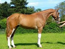 All Rounder Horse - 5 Yrs 16. 0 Hh - Kent