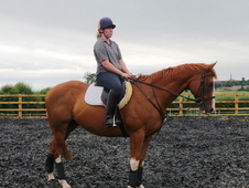 16. 2hh Thoroughbred Gelding