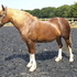 Registered Welsh D Mare 15.2hh
