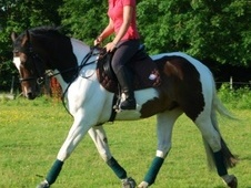 All Rounder horse - 5 yrs 5 mths 16.2 hh Skewbald - Hertfordshire