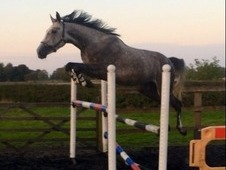 Superb Kwpn Gelding (larino/andiamo) Quality Top Competition Pros...