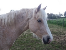 Palomino Welsh D Mare *UPDATE CURRENTLY BEING BACKED*