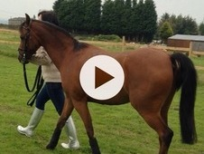 12. 2hh British Riding Pony For Sale
