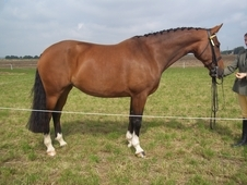 Ster Graded 16. 3hds 9yr Old Bay Mare