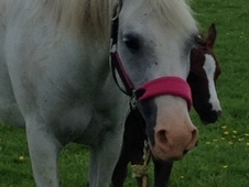 Pretty PBA/Welsh Mare, 13. 3hh
