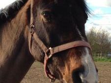 Cobs horse - 7 yrs 14.1 hh  - South Humberside