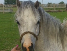 Gorgeous 11. 2 registered Welsh Sec A pony For Sale