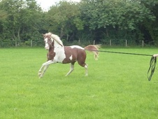 Coloured horse - 4 yrs 15.1 hh Coloured - Gwynedd