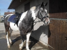 All Rounder horse - 7 yrs 15.1 hh Blue & White - Avon