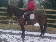 Riding Club Horses/Ponies horse - 15 yrs 10 mths 15.2 hh Bay - He...