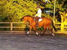 Beautiful 15. 2h Bay Gelding Perfect Allrounder