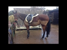 Gorgeous Thoroughbred For Sale