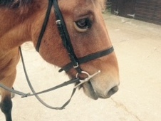 14. 1hh Bombproof Pony For Sale
