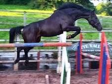 Stunning 2012 double graded warmblood mare (quickstar x indoctro)