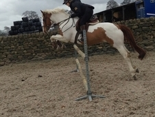 Fantastic 16hh allrounder mare for sale