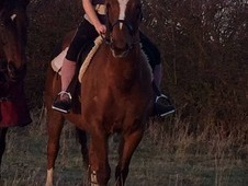 Intelligent 15. 1 chestnut gelding