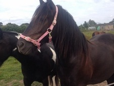 Gorgeous black gelding for sale