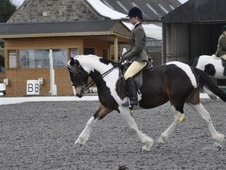 All Rounder horse - 4 yrs 14.3 hh Skewbald - Staffordshire