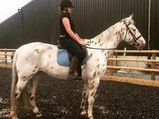 Woody is a super 16. 3hh Appaloosa gelding
