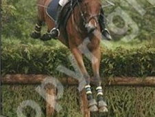 All Rounder horse - 10 yrs 1 mth 15.2 hh Bay - East Sussex