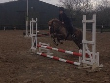 13. 3 New Forest Chestnut Gelding. Perfect For Pony Club!