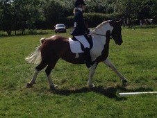 Coloured warmblood x cob show dressageallrounder