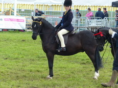 Very Smart All Rounder 12hh Welsh Sec A