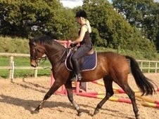 Lovely 16. 2hh all rounder