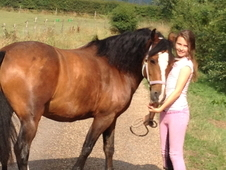 Handsome 13. 2 Hh Welsh Sec C Gelding