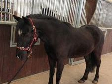All Rounder horse - 5 yrs 13.2 hh  - Laois