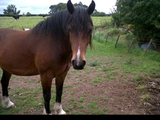 handsome 9 year old Welsh cob x. potential fabulous new project.