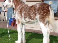 Clydesdales For Sale.