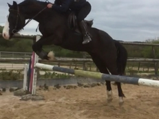 14.2hh Welsh Cob for Sale