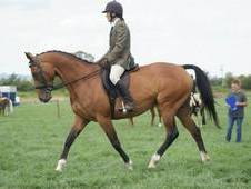 Beautiful 15. 2hh Thoroughbred