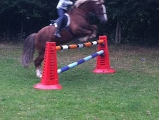 All Rounder horse - 14 yrs 2 mths 14.2 hh Liver Chestnut - Herefo...
