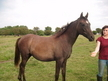 High % part bred Arabian yearling filly