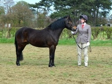 Mountain & Moorland horse - 5 yrs 14.0 hh Dark Bay - Lincolnshire