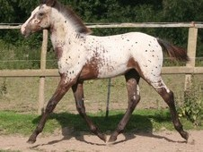Appaloosa X Arab Spotted Filly
