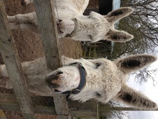 Donkeys horse - 6 yrs 12.2 hh Grey - Gloucestershire