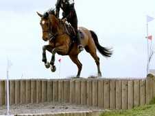 Talented 16. 1hh Warmblood X Ish Bay Mare Event/sj/dressage Poten...