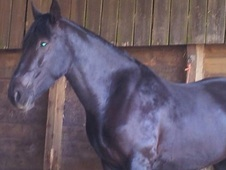 Irish sport horse x Hackney 5 ys