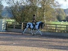 All Rounder horse - 5 yrs 15.2 hh Coloured - Staffordshire